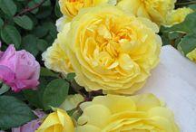 розы староанглийские