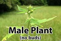 Male Plants, Bananas & Hermies / Learn about the difference between male and female cannabis plants, as well as plants that show a mix of both characteristics. Find out how to identify each type as quickly as possible. Full article here: http://growweedeasy.com/male-plants-bananas-hermies / by Nebula Haze