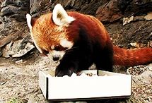 Red Pandas are the Best / by Amie Wong
