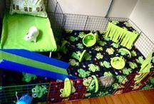 Gavins Guinea Pigs