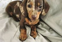 Dachhounds