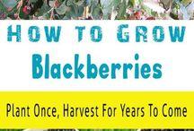 Garden blackberries