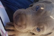 All about Erik / Photo album of Erik a Ashlaren Weimaraner who lives in Sydney Australia with my husband and I.