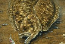 lenguado flounder halibut