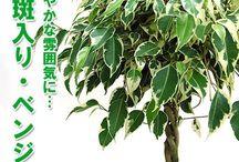 斑入り・観葉植物