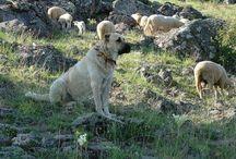 Anatolian Shepherd / by Belora Bryant