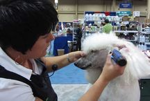 Dog - Poodle - Grooming