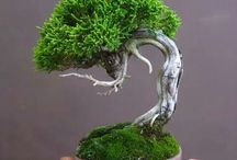 Bonsai / Bonsai tree