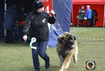 Combined Canine All Breed Int.ch, show Dublin 2013 / DELBOY WINS BEST OF BREED  GREEN START & CACIB