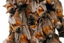 Pipistrelli / Per favore non mordermi sul collo!!!