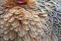 A galinha e os pintinhos