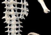 Anatomia koników morskich