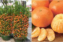 mandarinfa