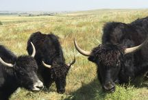 For the Love of Yaks