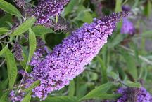 Butterfly Bush / Shrub