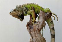 Reptil / Iguana