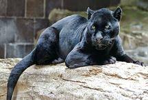 Jaguar ( Pars ) - \/\ -Jaguarund