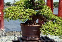 Jade plant / Crassula