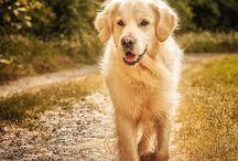Honden . / Golden retrievers .