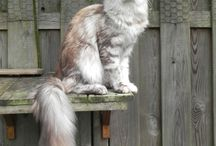 Maine Coon - Black Torty Silver Blotched / #MaineCoon #Black #Torti #Silver #Blotched #Cats