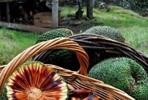 Araucarias / Árbol milenario