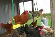 Chicken/hens
