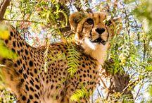 Latest Cheetah Cubs Photos / By Marie Anne Sass