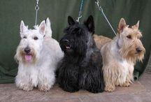 Scottie terrier