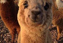 cute cute alpacas