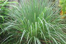 JARDINgm: Plantas repelentes naturais