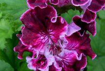geranium / geranium