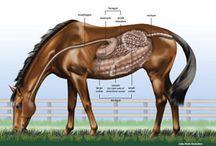 hevosten