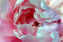 Peonies / My favorite flower.