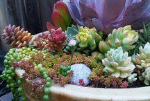 Succulent garden / Succulents in a pot