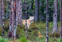Grey wolf, Grijze wolf / Grijze wolf op de grens van Finland en Rusland.