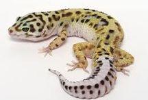Gilbert the Library Gecko