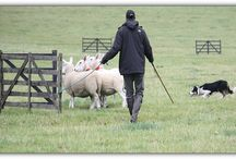 Nij Vyas Sheepdog Experience and Training / Sheepdog experience gift days for the family and Corporate Busindess' for Team Building days