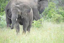   KUMBURA - RESIDENT ELEPHANT   / The elephant Kumbura.