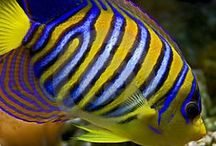 Reef Tank Fish and Corals / The Reef Tank is an ever evolving directory that is continuously updated with the latest information on a variety of different fish from the ocean.