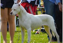 Only Dogo Argentino ! ! !