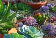 Etli yapraklı bitki saksıları