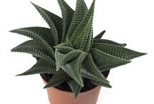 Cserepes növények - Plants / Cserepes növények, lakás virágai