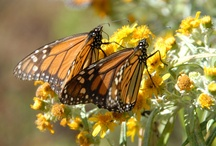 Flight of the Butterflies - IMAX Film / Explores the Most Incredible Migration on Earth, that of the Monarch Butterfly!  / by Reuben H. Fleet Science Center