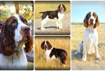 ~ English Springer Spaniels ~ / My *love* for my ESS  / by Laurie Peters