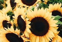 Give Me All The Sunflowers!