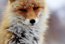 Fox(y) / my favorite animal ,so amazing  <3