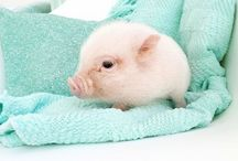 Cutest pigs in the world
