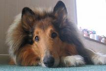 lassie collies