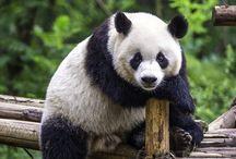 Bears and panda