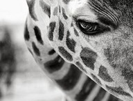 Giraffes / by Cindy Anderson